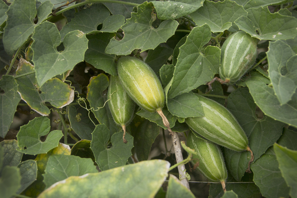 pointed gourd leaves benefits