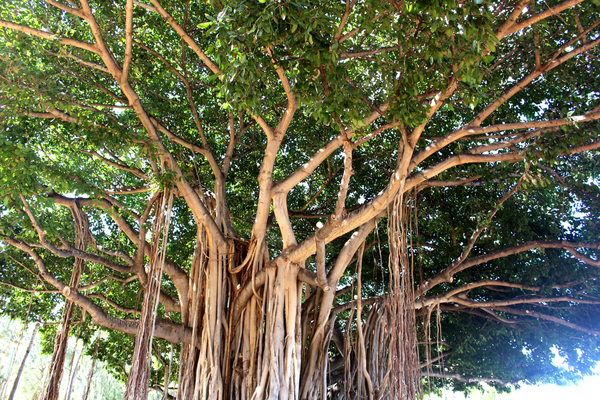 Banyan Tree Benefits