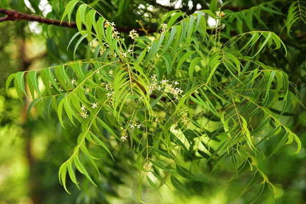 Neem Tree and Leaves